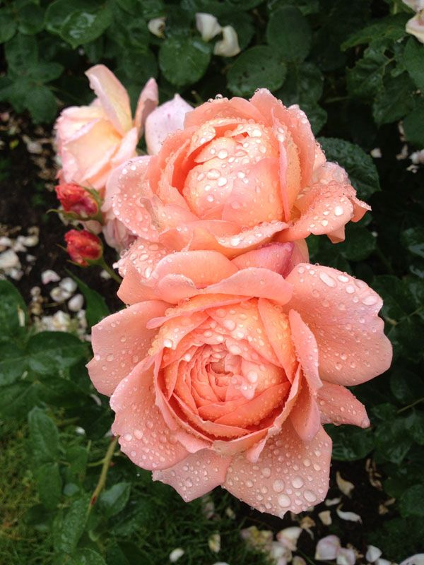 Peach garden rose one day my prince will come pinterest - Peach garden rose ...