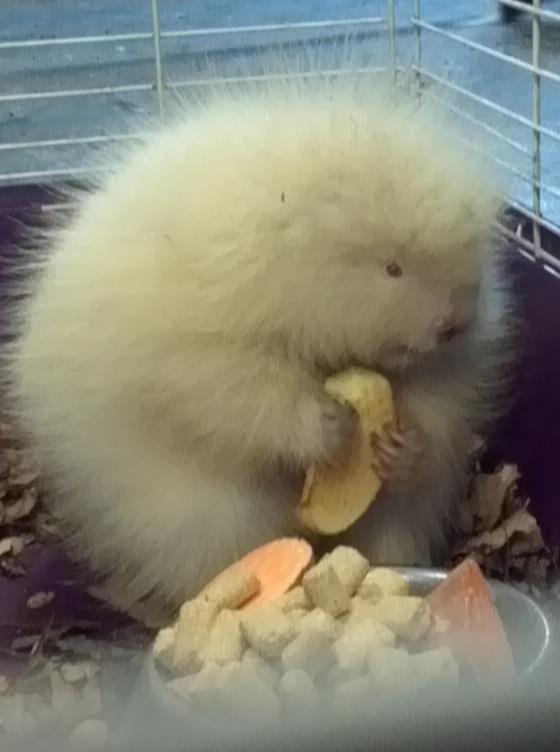 Rescued baby albino porcupine enjoying an apple slice.
