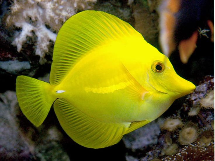 yellow tang under the sea pinterest
