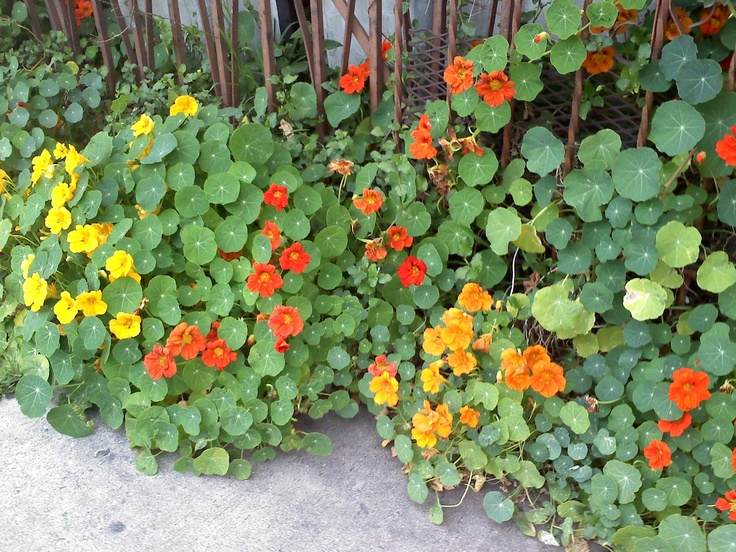 Spring Nasturtium in California.  They reseed every spring.