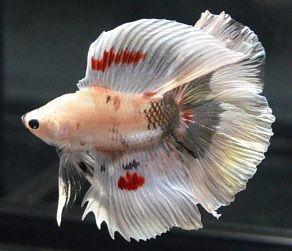 Priceless i love u betta fish one of a kind double for Ebay betta fish