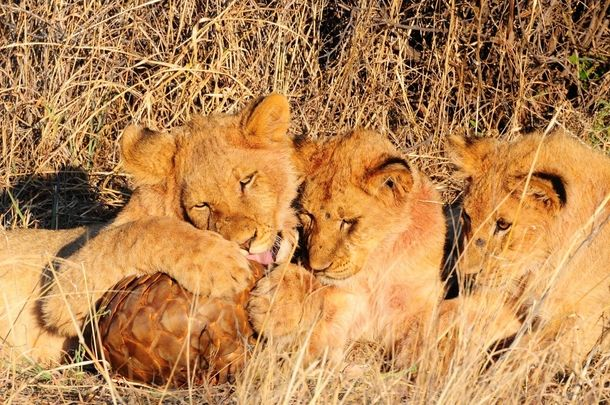 Lion cubs tryin...
