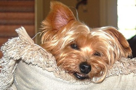 Lucy Lu ~ we miss you so much! ~ yorkie | puppy dogs.. | Pinterest