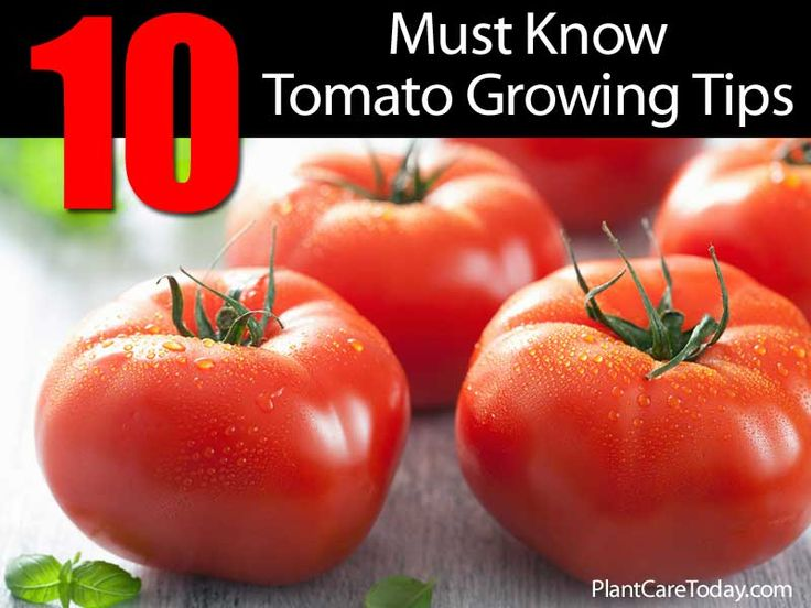 10 must know tomato growing tips outdoors gardening for Tomato gardening tips