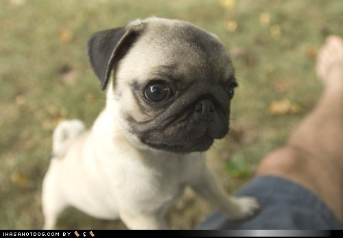 funny dog pictures - Cyoot Puppy ob teh Day: Widdle Pug