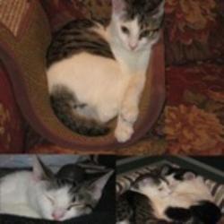 Snugglebug tubbington is an adoptable japanese bobtail cat in norwalk