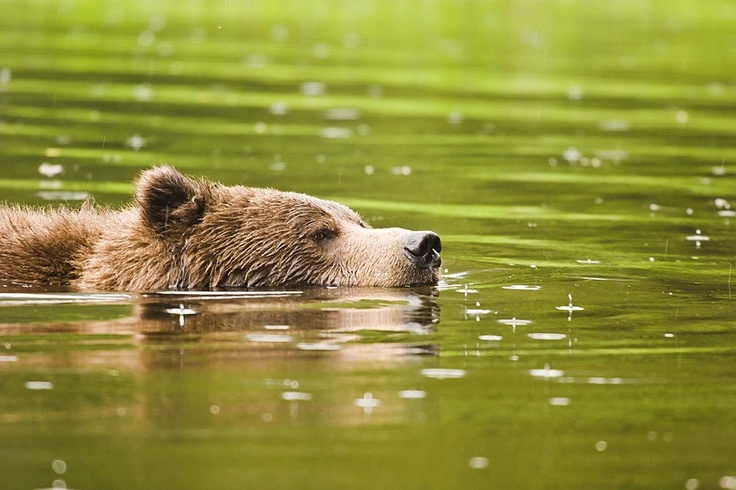 Grizzly bear swimming great bear rainforest bc great bear