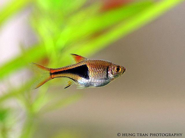 Harlequin Rasbora by royce10, via Flickr Life in Water Pinterest