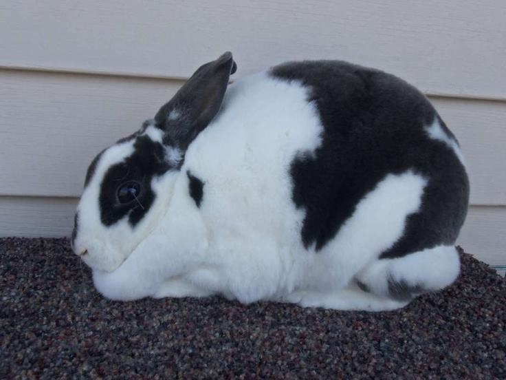 Broken blue mini rex rabbit | My Rex | Pinterest