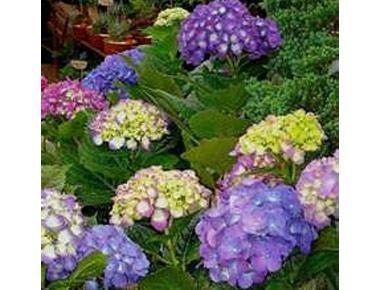 Hydrangea Indoor Plants Pinterest