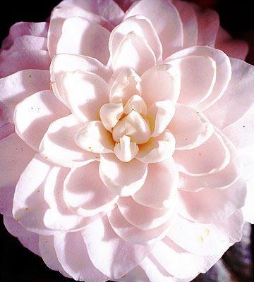 Helen's Ballerina Camellia - Plant Encyclopedia - BHG.com