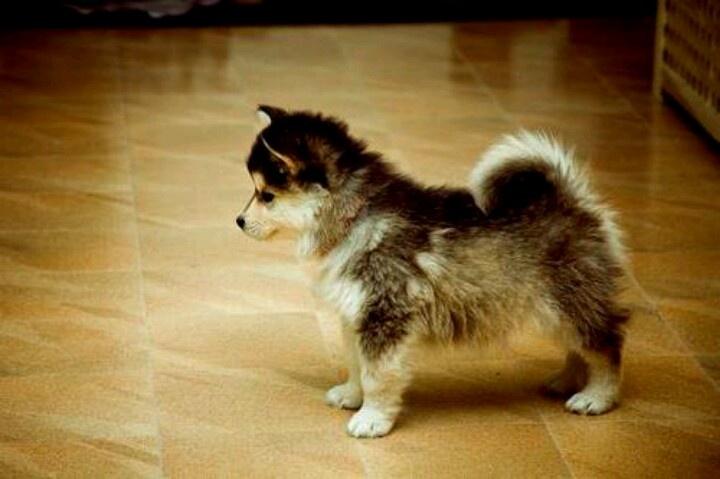 Husky Corgi Mixed | Doggie's | Pinterest