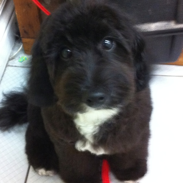 Jack Russell poodle mix strange combo but very cute