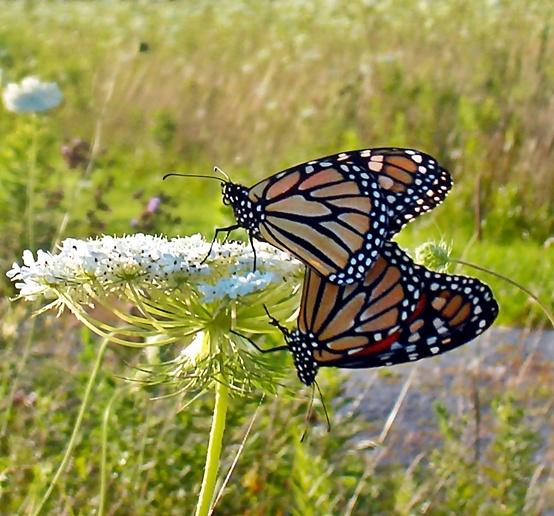Monarch Butterflies~cl