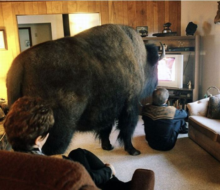 Rule 62: Never, ever, give your pet bison the remote.
