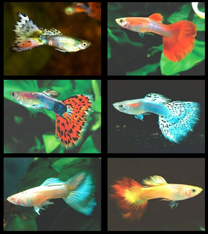 Guppies.