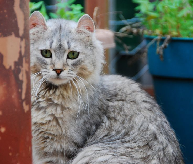 Highland lynx kitten - photo#24