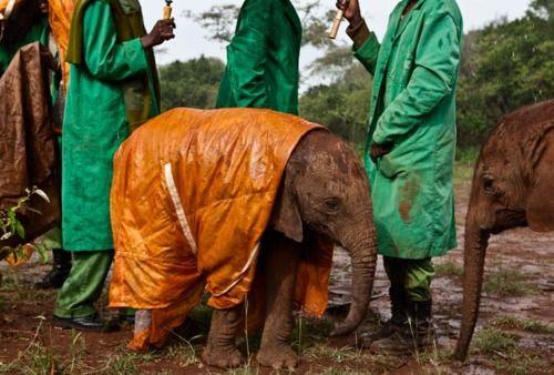 Dediacted keepers at the David Sheldrick Wildlife Trust's Nairobi Elephant Nursery in Kenya protect baby Shukuru from the cold and rain, and the risk of pneumonia, with a custom-made raincoat.