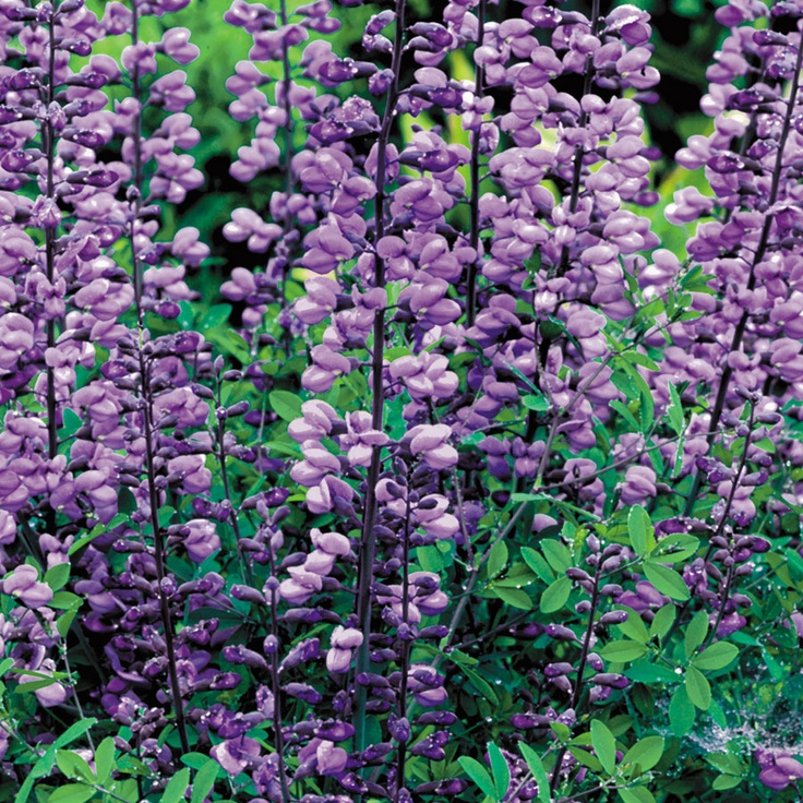 Purple Smoke Baptisia False Indigo Plant Garden Pinterest