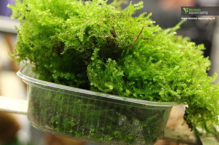 Pflanzen und Moose http://www.biconeo-aquascaping.de/wasserpflanzen/