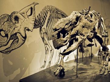pachyrhinosaurus skull  Pachyrhinosaurus Unlike its famous co...