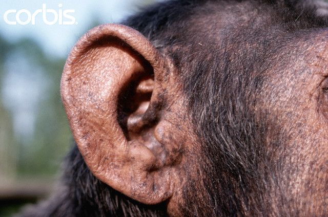 Detail of Chimpanzee's Ear | polymer clay monkey tutorials | Pinterest