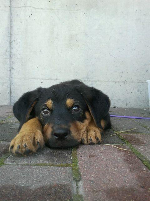 Rottweiler German Shepherd mix | My Shelby | Pinterest