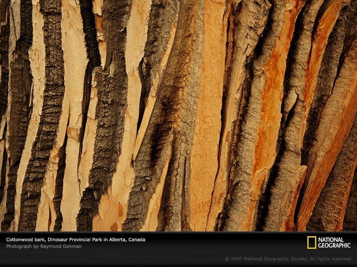 Cottonwood tree bark.