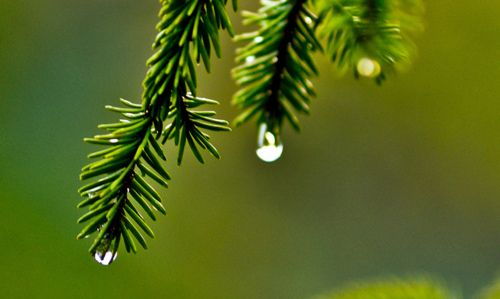 Raindrops and evergreens.