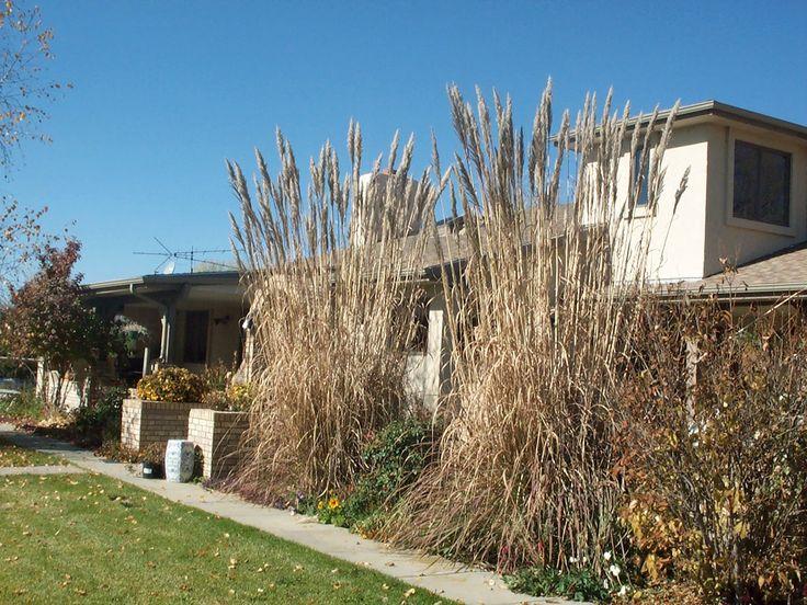 Hardy pampas grass garden ideas pinterest for Landscaping ideas with pampas grass