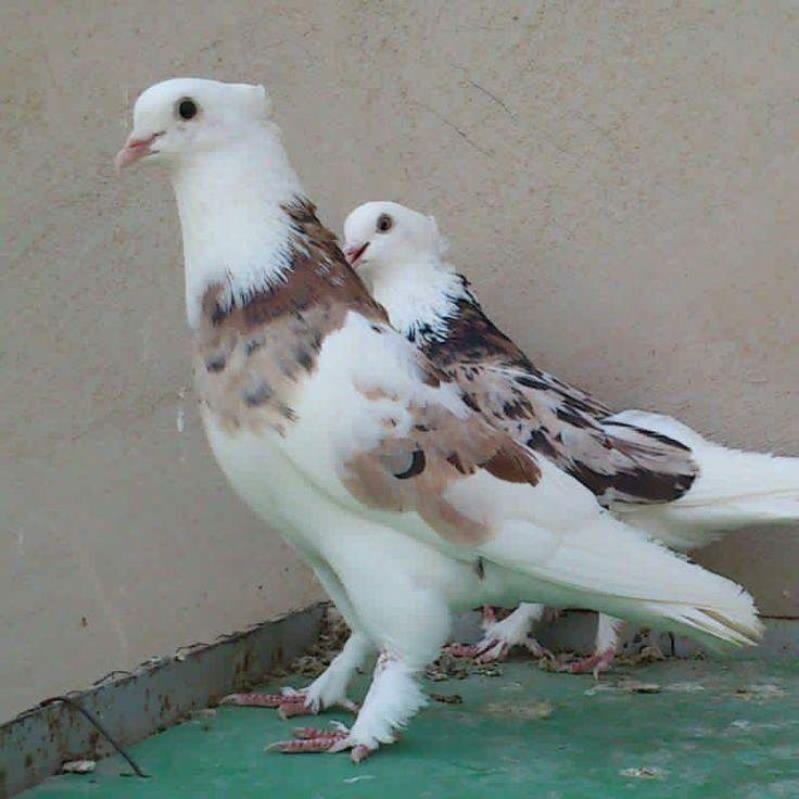 Light brown pigeon