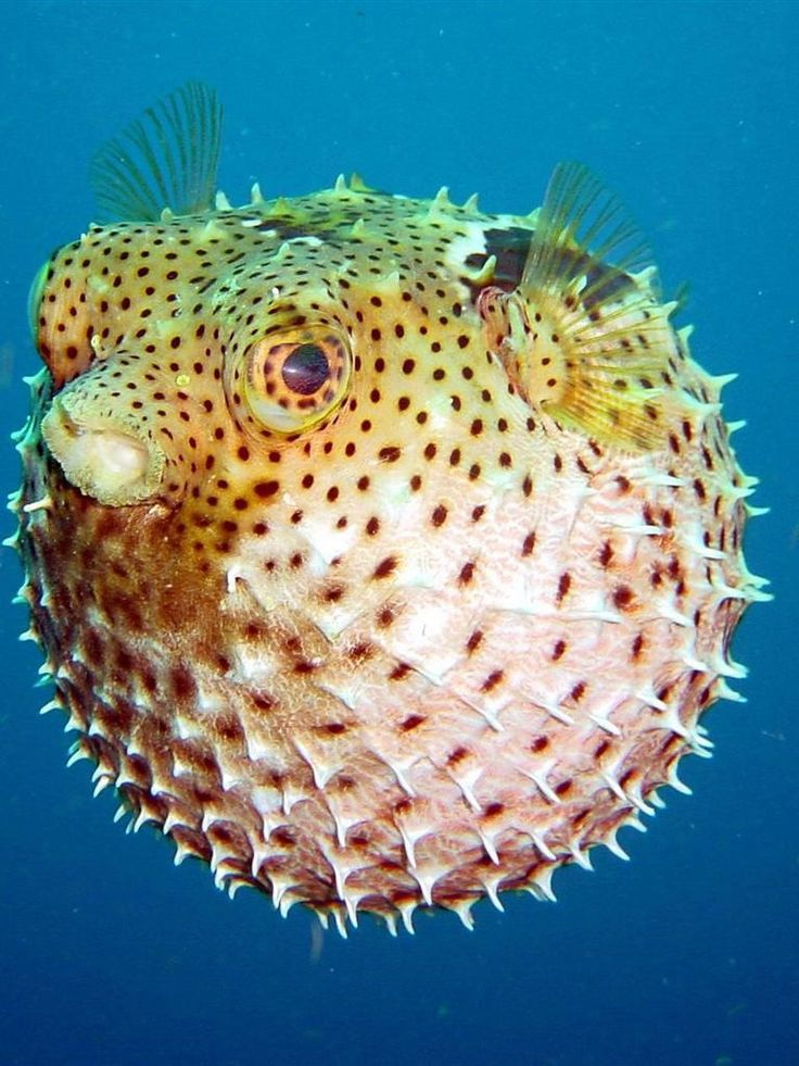 Pufferfish fish and other sealife pinterest for 94 1 the fish