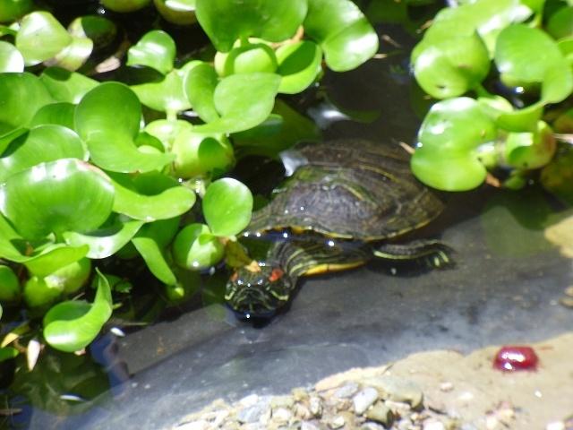 Red Eared Slider Turtle Water turtles Pinterest