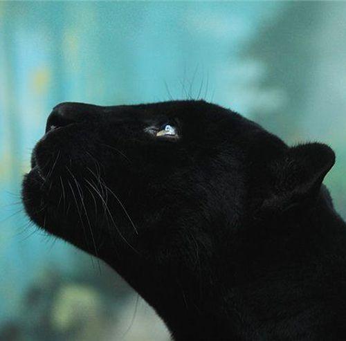 black, panther, face, beautiful, animal | Beautiful ... Panther Face