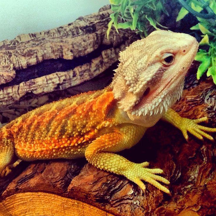Translucent bearded dragon <3