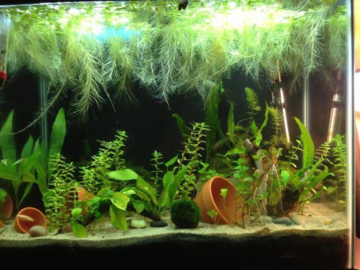 Planted betta sorority tank dream fish and aquariums for Betta fish plant tank