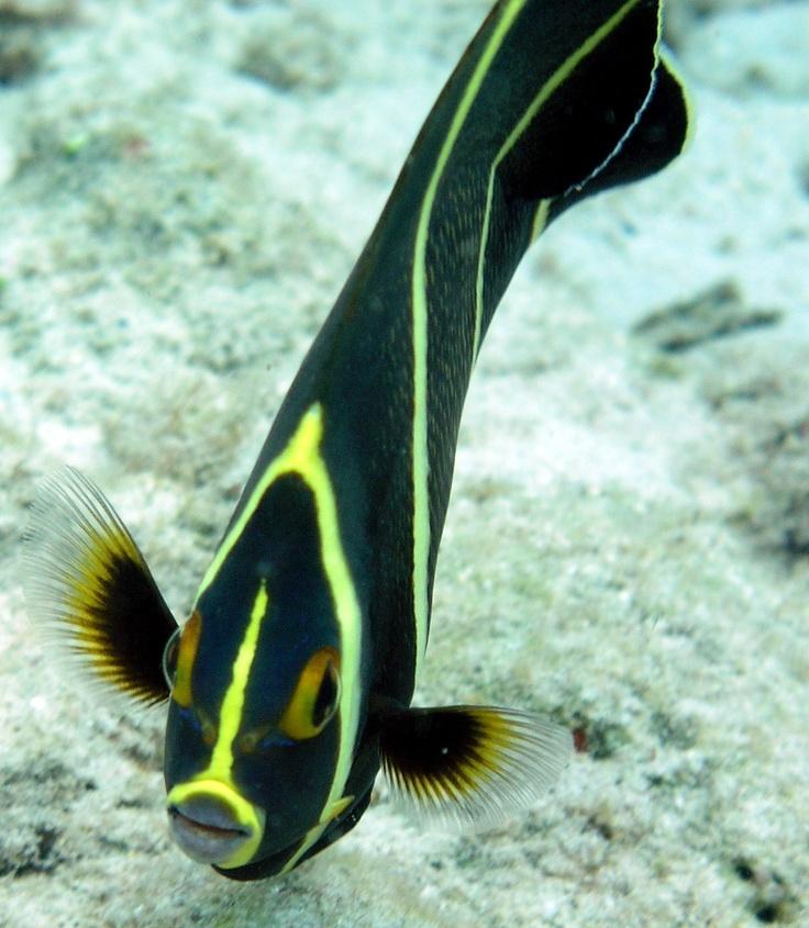 French Angelfish (Juvenile)   Bonaire   Pinterest