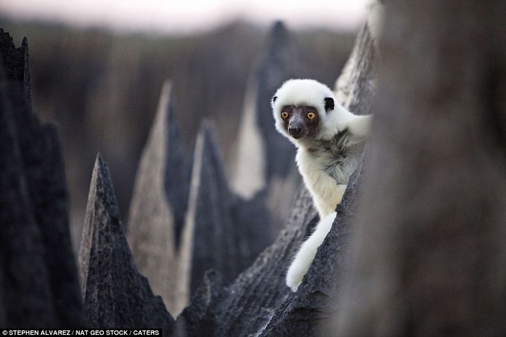 """""""A Deckens Sifaka [lemur] peers out from behind a sharp rock within the stone forest."""" <3 lemurs!"""