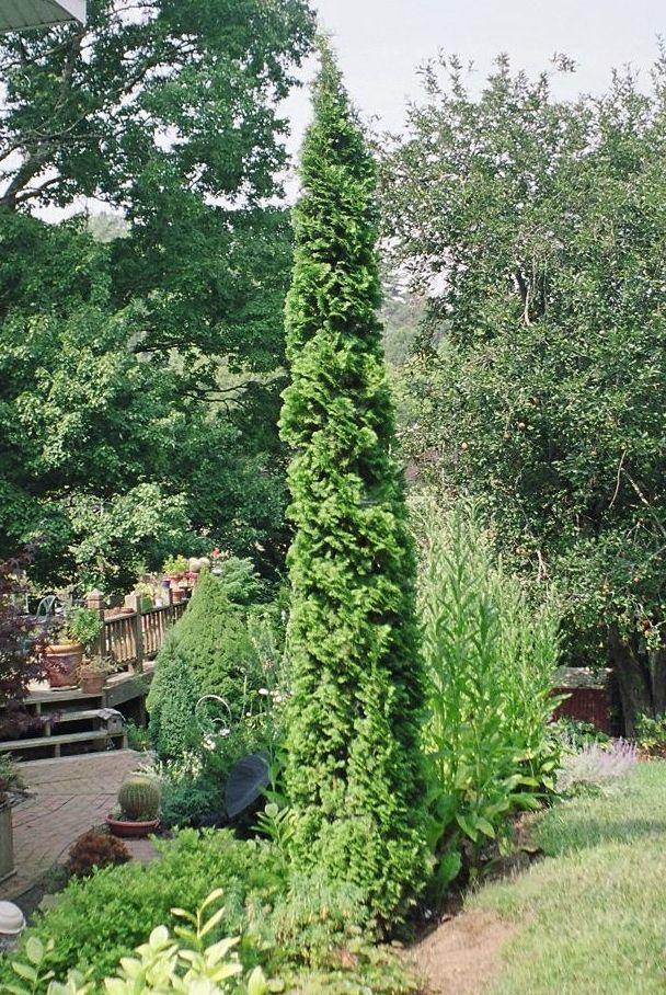 Degroot 39 s spire arborvitae garden pinterest for Arborvitae garden designs