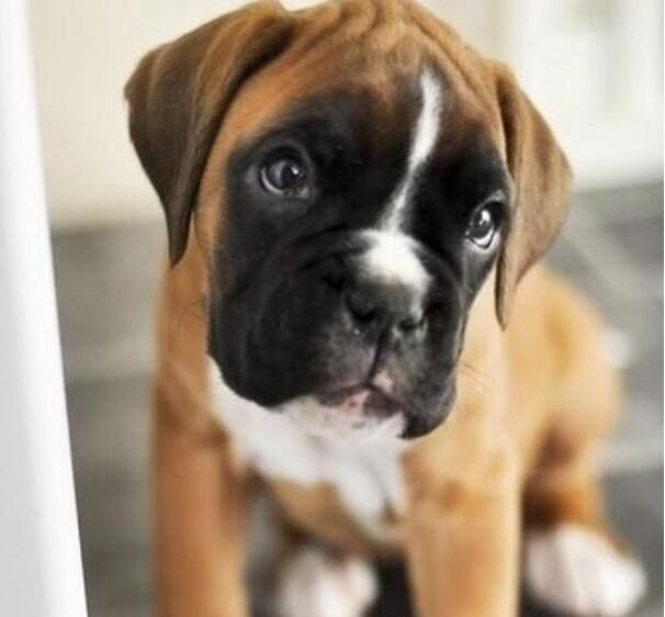 Baby boxer puppy pictures pinterest