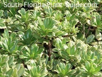 variegated pittisporum tobira leaf detail