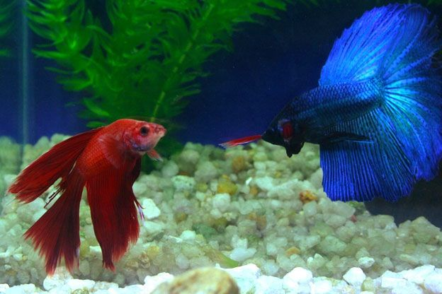 japanese fighting fish love mother earth pinterest