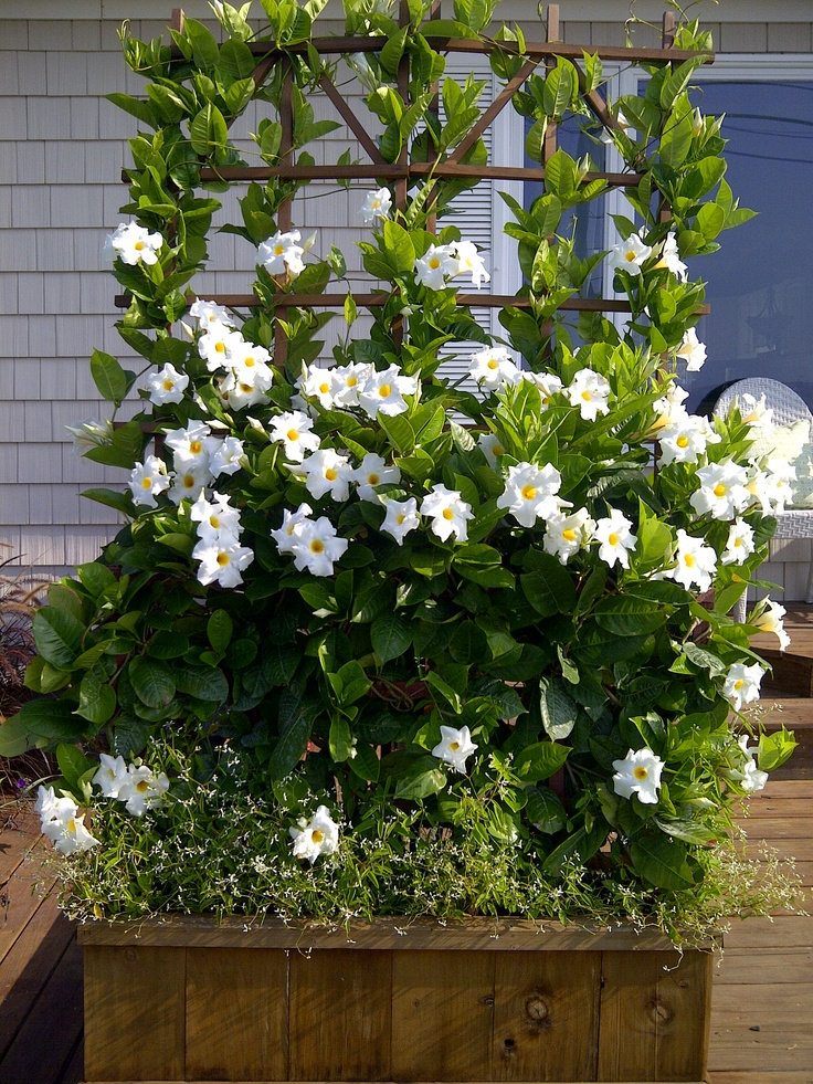 white mandevilla gardening pinterest. Black Bedroom Furniture Sets. Home Design Ideas