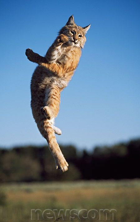 Jumping Bobcat Breathers In Motion I Pinterest