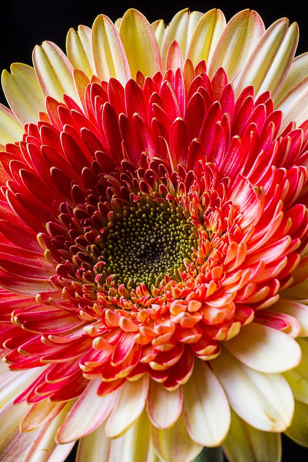 http://fineartamerica.com/featured/yellow-red-daisy-garry-gay.html