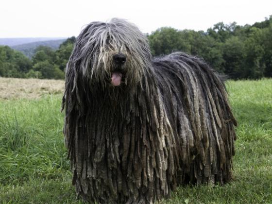 Bergamasco Dog Pictures