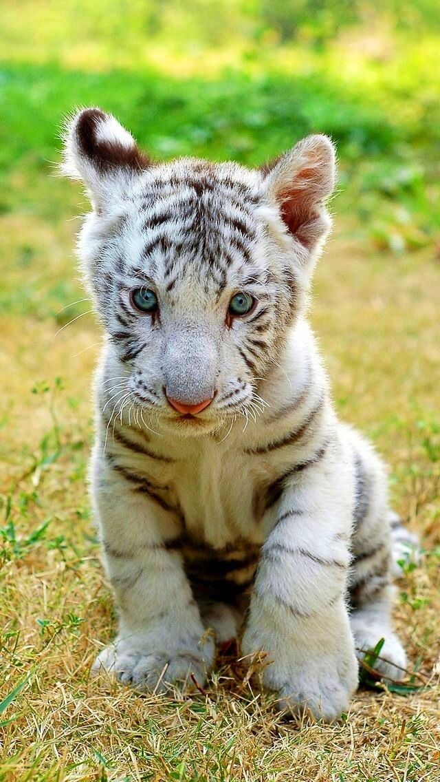 The gallery for --> Cute White Tiger