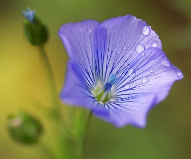 40 - Gotas de rocio en una flor azul by ferran pestaña, via Flickr