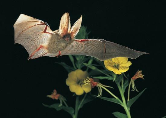 Sardinian long-eared bat