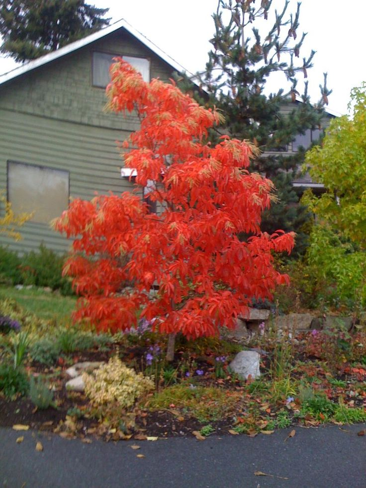 Sourwood tree trees pinterest for Best small decorative trees